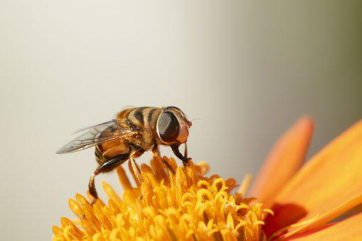 Hoverfly, Insects, Flies, Sunflowers, Macro, Orange