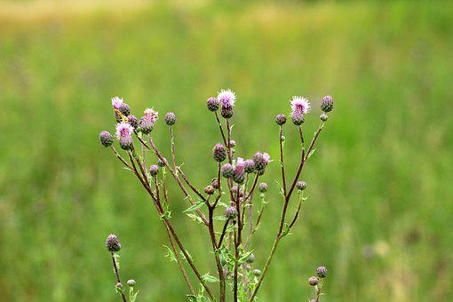 Thistle, Vegetation, Meadow, Plant, Spikes, Nature