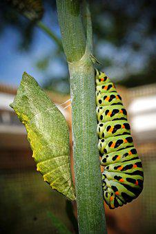 Caterpillar, Doll, Insect, Animal, Turn, Metamorphosis