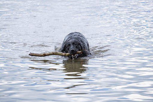 Dog, Swim, Water, Lake, Wet, Labrador, Retriever