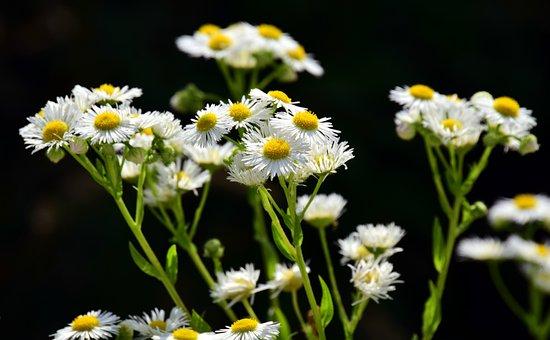 Fleabane, One Year, Flower, Blossom, Bloom, White