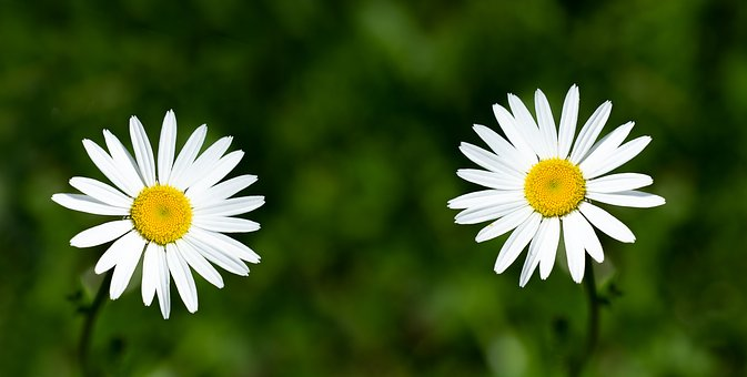 Daisies, Flowers, White, White Flowers, Two