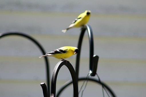 Goldfinch, Bird, Face, Yellow, Funny, Nature, Wildlife
