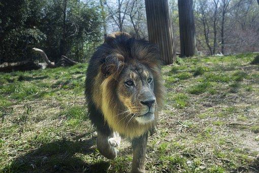Zoo, Lion, Animal, Predator, Mane, Male, Dangerous