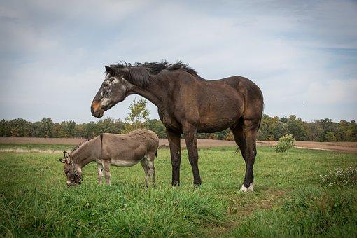 Horse, Equine, Donkey, Mini, Animal, Nature, Brown