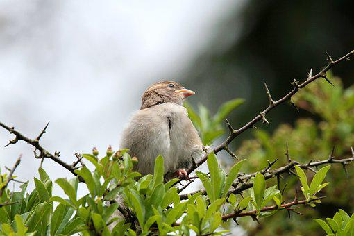 Sparrow, Sperling, Bird, Nature, Animal, Garden