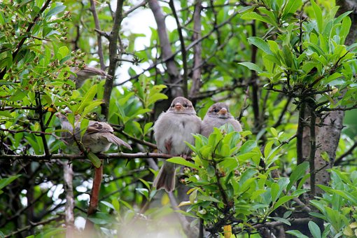 Sparrow, Sperling, Nature, Animal, Garden, Sparrows