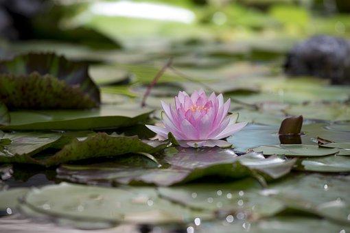 Lotus, Flower, Aquatic Plants, Summer