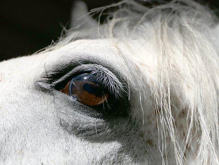 Horse, Eye, Portrait, White, Psa, Pure-blood, Arabic