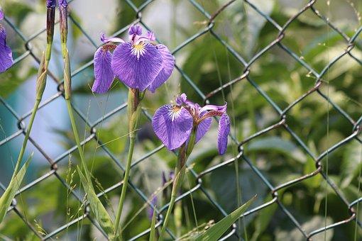 Irises, Flowers, Spring Flowers, Beautiful, Nature
