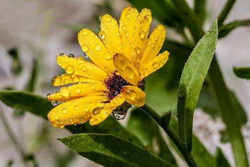 Marigold, Raindrop, Calendula, Yellow, Blossom, Bloom