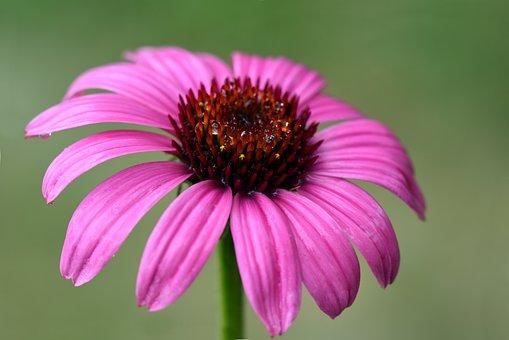 Sun Hat, Flower, Blossom, Bloom, Nature, Plant, Petals