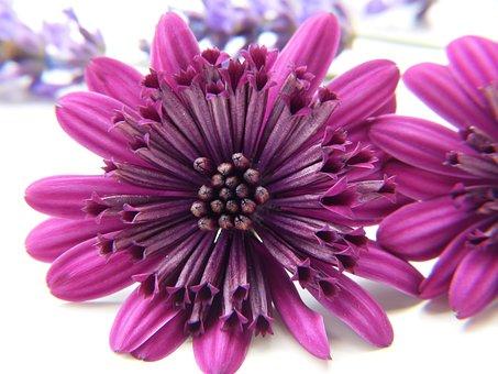 Margarite, Blossom, Bloom, Purple, Close Up