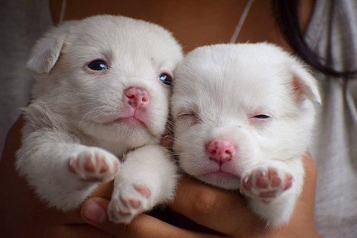 Puppies, Dog, Animal, Pet, Puppy, Cute, Young, Canine