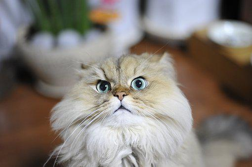Cat, Pets, Persian Chinchilla
