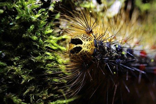 Caterpillar, Caterpillar Gypsy, Insects, Animals, Wild