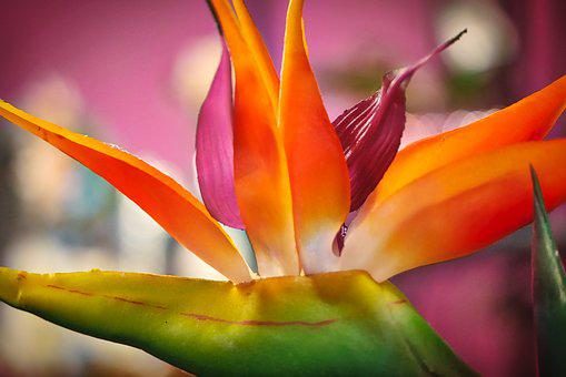 Strelizie, Flower, Exotic, Farbenpracht, Close Up