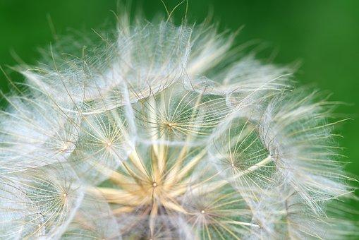 Flying Seeds, Dandelion, Nature, Close Up, Seeds