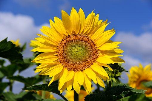 Sun Flower, Sunflower Field, Sky, Clouds, Blue, Yellow