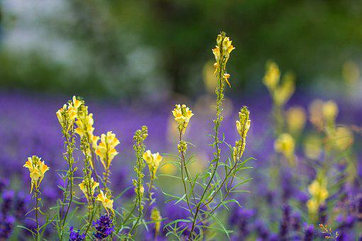 Linaria Vulgaris, Common Toadflax, Little Lion's Mouth