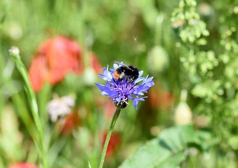 Alpine Cornflower, Cornflower, Centaurea Montana