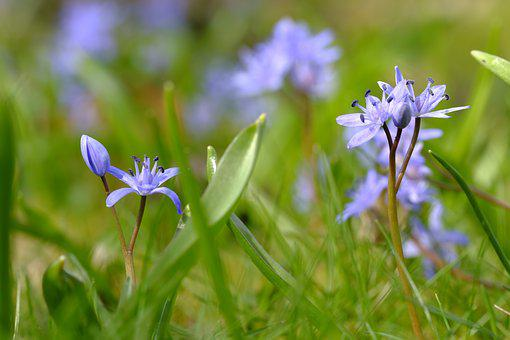 Blue Star, Scilla, Asparagus Plant, Early Bloomer