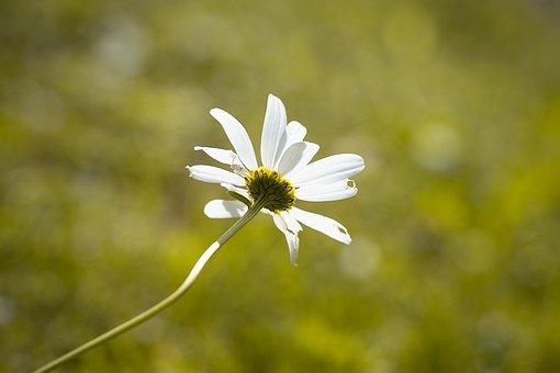 Marguerite, White, Flower, White Flower, Blossom, Bloom