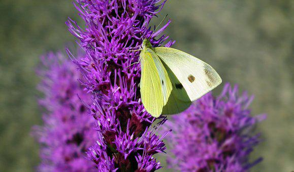 Insect, Butterfly, Flower, Latria Kłosowa, Nature
