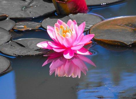 Dutch, Lotus, Lotus Leaf, Flower, Pond, Flowers, Plant