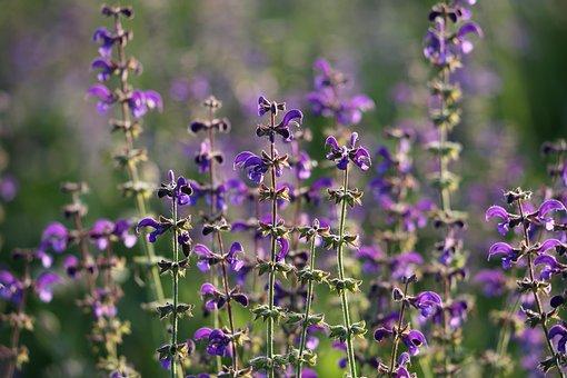 Meadow Sage, Salvia Pratensis, Flower, Blue, Violet