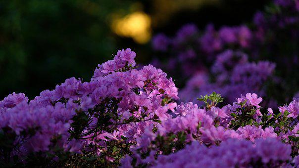 Spring, Flowers, Azaleas, Rhododendron