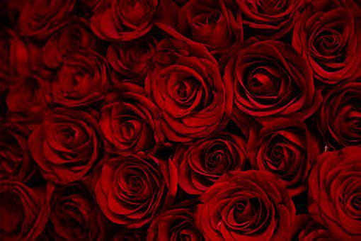 Rose, Roses, Flowers, Red, Valentine, Morning, Flower