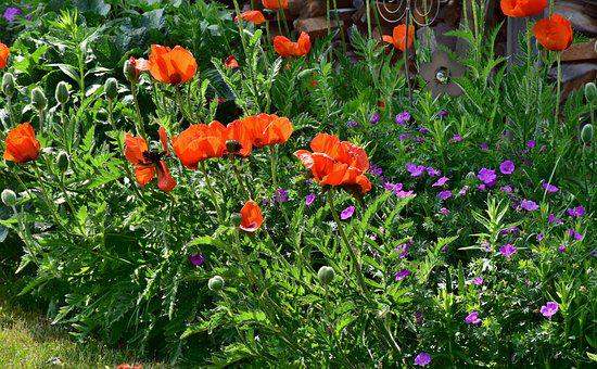 Poppy, Flowers, Nature, Summer, Blossom, Bloom, Plant