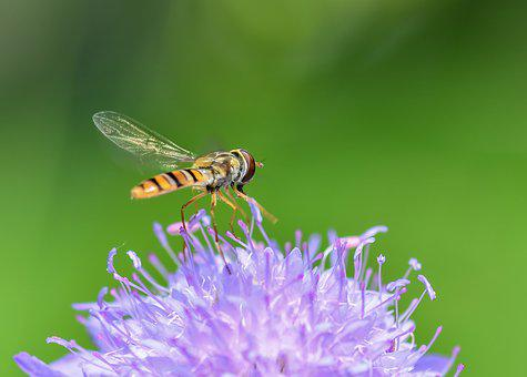 Hoverfly, Insect, Flower, Purple, Forage, Fly, Diptera