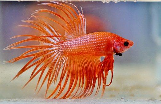 Betta, Warrior, Aquarium, Fishy, Male, Fish, Freshwater