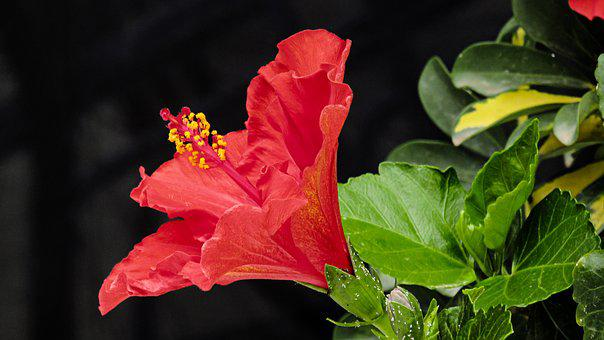 Hibiscus, Flower, Tropical, Red, Plant, Garden, Flora