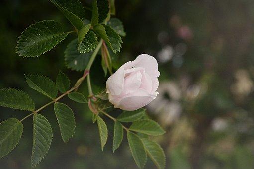 äppelblomster, Flower, Tree, Nature, Branch, Green