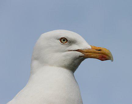 Seagull, Close Up, Head, Seevogel, Water Bird
