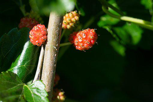 Mulberries, Immature, Ripening Process, Healthy