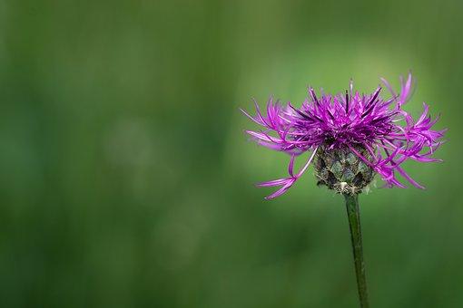 Knapweed, Purple, Purple Flower, Pointed Flower