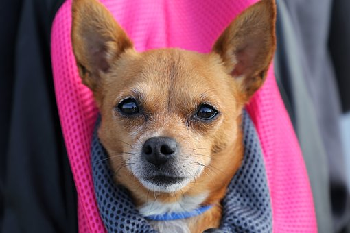 Little Dog In Bag, Chihuahua, Animal, Pet, Nice, Cute