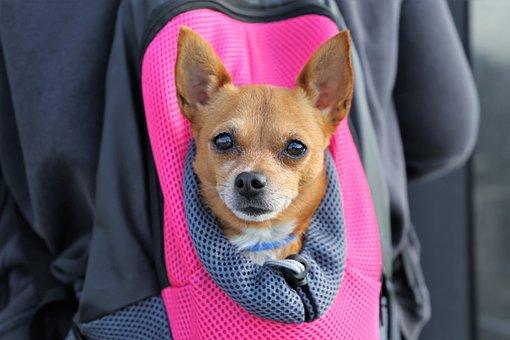 Little Dog In Bag, Animal, Pet, Nice, Cute, Sweet