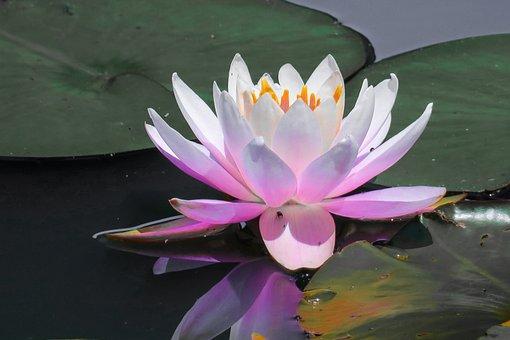 Dutch, Lotus, Lotus Leaf, Flowers, Pond, Flower