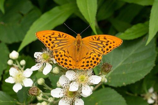 Butterfly, Edelfalter, Blossom, Bloom, Macro, Close Up
