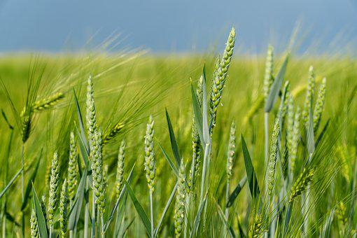 Nature, Ear, Agriculture, Plant, Summer, Grain, Food