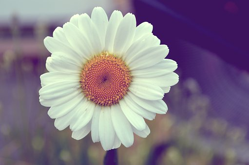 Daisy, Flower, Nature, Flowering, Spring, Plant, Summer