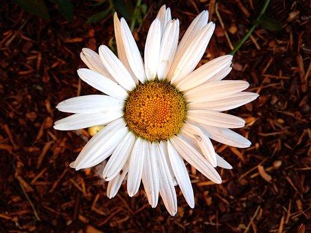 Daisy, White, Flower, Bloom, Nature, Blossom, Plant