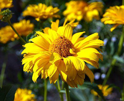 Sun Hat, Flower, Yellow, Blossom, Bloom, Nature, Summer