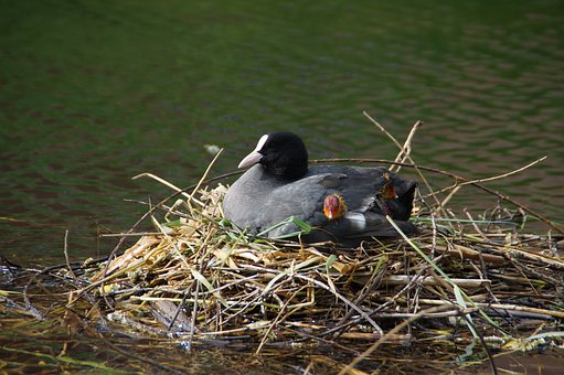 Coot, Nest, Nature, Boy, Chick, Bird, Water, Waterfowl
