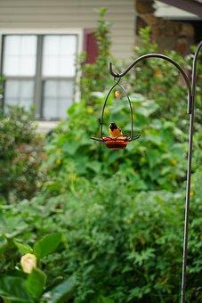 Oriole, Bird, Wildlife, Birdwatching, Orange, Sitting